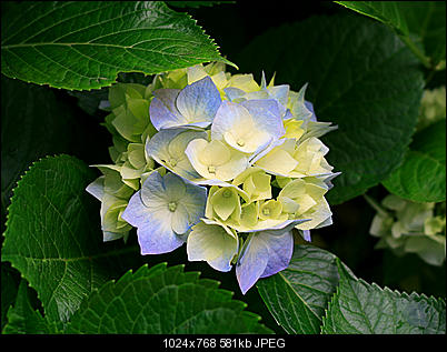 Click image for larger version  Name:Hydrangeas.jpg Views:186 Size:581.3 KB ID:23015